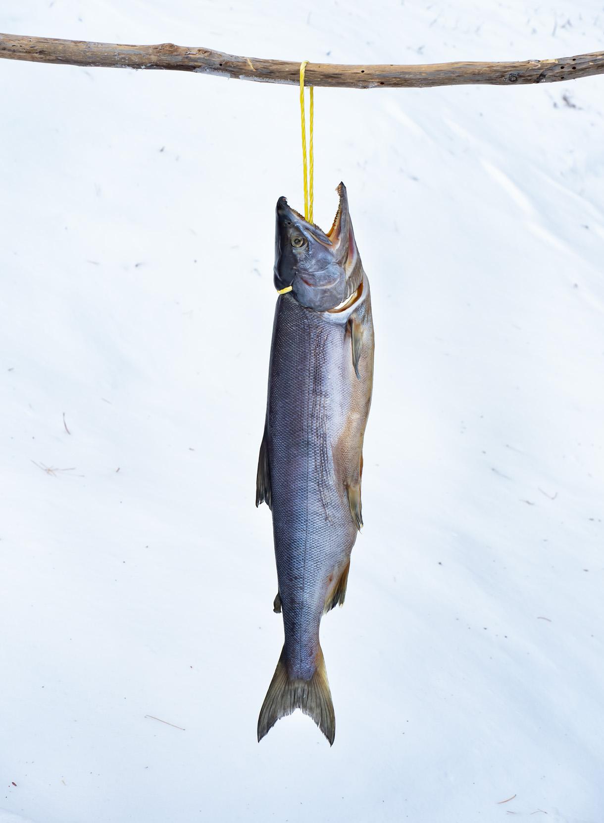 カネシメ水産 新巻鮭 約2.5kg(解凍チルドor 冷蔵)